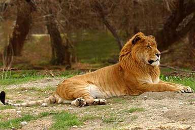 liger2.jpg